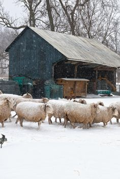 2 of my favorite things in One great picture!!!! Sheep In Winter Snow