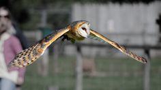 ITAP of a barn owl in flight http://ift.tt/2gJ9QXs
