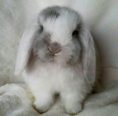 White Eared Lilac Magpie Mini Lop- I want this bunny! Cute Baby Bunnies, Funny Bunnies, Cute Baby Animals, Animals And Pets, Funny Animals, Mini Lop Bunnies, Bunny Bunny, Bunny Rabbits, Holland Lop Bunnies