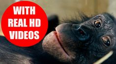 This educational video is intended to teach kids, children, toddlers and babies animals and animal sounds. No pictures or cartoons are used for the content! Real animal videos in HD quality will help your kids to learn the animal sounds quickly and enthusiastically.  16 favorite animals are a perfect starting point for the education of your children. #animalsounds #animals #children