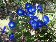 Heirloom 100 Seeds Large morning glory Ipomoea indica by seedsshop, $1.79