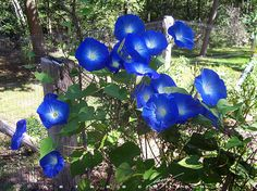 Heirloom 100 Seeds Large morning glory Ipomoea indica Cypress vine moonflower Flower Bulk seeds B1078, $1.79