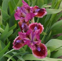 'Cat's Eye' Dwarf Iris:This Standard Dwarf Bearded Iris will charm you! The bloom is a striking mixture of mauve and burgundy, and produces an intriguing, spicy fragrance. Iris Flowers, Types Of Flowers, Pretty Flowers, Flowers Perennials, Planting Flowers, Irises, Dwarf Iris, Dwarf Lilac, Iris Garden