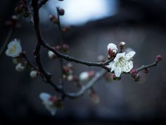 Ume by Yuga Kurita Japan Sakura, Nihon, Dandelion, Bloom, Dark, Flowers, Nature, Plants, Silver