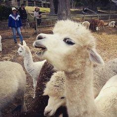 Alpacas at Ohio Farm, Noordhoek, Cape Town, South Africa Alpacas, Loom Patterns, Cape Town, South Africa, Ohio, Animals, Columbus Ohio, Animales, Animaux