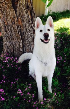 Bellevue German Shepherds | X'pect The Unexpectd I love white German Shepherd's but this has got to be the most beautiful one I have ever seen I need to get a puppy from the breeder