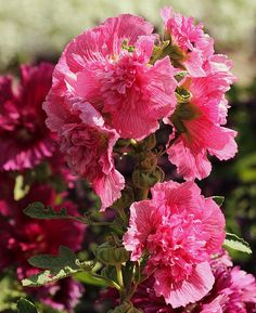 Pink Ruffled Hollyhocks