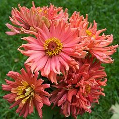 The third Zinnia for my veggie garden from Select Seeds.  This one is called 'Senorita.'  I think this and the other two that I'm getting will be just gorgeous.