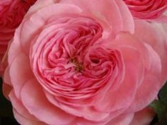 Garden Rose Maria Theresia    Wholesale To The Trade only - All shipments FREE FedEx FARM DIRECT 3 Days a week - Tuesday ~ Thursday ~ Friday within 48-72 hours to any place in the USA!!!