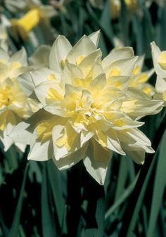 """Old House Gardens Heirloom Bulbs-""""IRENE COPELAND, 1915"""" This is the neatest double daffodil we've ever seen. With creamy white petals arranged just so and trimmed with bits of pale primrose yellow, it would look perfect on an Edwardian lady's Easter bonnet."""