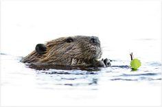 Luontokuvat, nature photos - Marko Miettunen photography - Mielenkiintoista luontokuvia katseltavaksi ja koettavaksi kaikenikäisille ihmisille. Katso luontokuvia sivuiltani >Luontokuvat, nature photos – Marko Miettunen photography