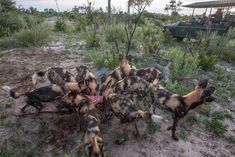 Chitabe is well known for its amazing interactions with its resident pack of wild dogs Okavango Delta, Wild Dogs, Wilderness, Safari, Amazing, Animals, Animales, Animaux, Animal