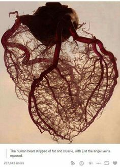 The human heart stripped of Fat & Muscles with just the angle Veins exposed.