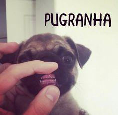 tiny sharp Pug teeth!