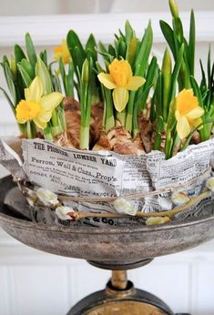 Spring and yellow daffodils all wrapped up in print, twine with pussy willow Vibeke Design, Yellow Springs, Spring Bulbs, Deco Floral, Spring Sign, Spring Is Here, Spring Crafts, Daffodils, Daffodil Bulbs