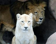 Lion and White LIoness