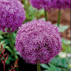 Allium - Top 10 Plants for Seaside Gardens - Coastal Living