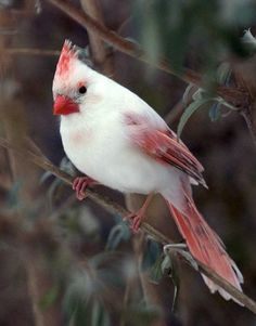 Albino Cardinal ~  What a beautiful bird!