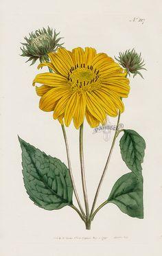 #Sunflower No. 227 from William Curtis Botanical Magazine 1787-1839.