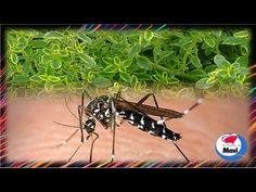 Plantas repelentes de mosquitos y otros insectos - YouTube