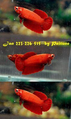fwbettashm1420792476 - SUPER RED HM FEMALE # 1 JAN 223-226-515