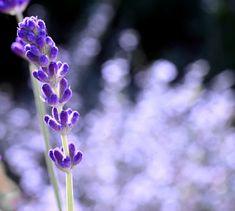 Lavender grower