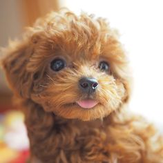 The many things I respect about the Athletic Poodle Pups Really Cute Puppies, Cute Little Puppies, Cute Dogs And Puppies, Baby Dogs, Cute Babies, Doggies, Toy Poodle Puppies, Tiny Puppies, Teacup Puppies
