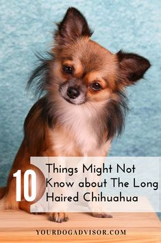 The Long Haired Chihuahua : 10 Things You Might Not Know Chihuahua Names, Baby Chihuahua, Long Haired Chihuahua Puppies, Small Puppies, Baby Puppies, Very Small Dogs, Ugly Dogs, Clever Dog, Lap Dogs