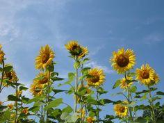 Sonnenblumen säumen die Felder im Hinterland