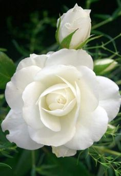 Best New Flower Rose Beautiful White Background Beautiful Rose Flowers, Love Rose, Amazing Flowers, My Flower, White Flowers, Beautiful Flowers, Growing Roses, Flower Pictures, Planting Flowers