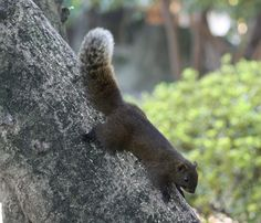 Pallas's squirrel (C