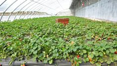Driscoll's says that its strawberry seedlings will now be organic. Here's why that matters.