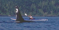Serrious dream of mine. Before I die I want to kayak with the Orcas. I love Orcas! Scary, but awesome!  Orca kayak tour of Johnstone Bay, B.C. Canada.