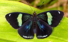 Eighty-eight or 89 butterfly, Diaethria clymena