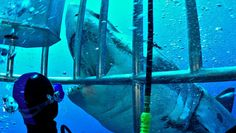 If you're brave (or crazy) enough to want to meet a great white, mako or other big shark in its own environment, plenty of diving operators are ready to oblige.