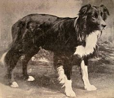"""OLD HEMP (September 1893 – May 1901) Nothumberland, England - is considered the foundation sire or """"father"""" of the Border Collie breed. All pure bred border collies descend from Old Hemp"""
