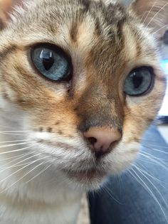 Female Bengal Cat | Sidcup, Kent | Pets4Homes
