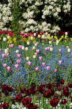 Mixed late spring border of single late tulips, forget me nots, narcissus and rhododendron, Butchart Gardens, by Georgianna Lane