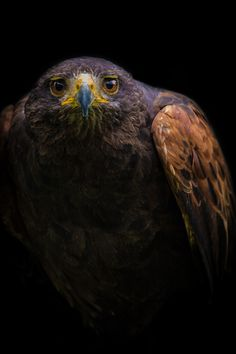 Hawk on a mission by  Alan Shapiro on 500px.com (Original Size - Height: 5000px - Width: 3333px)