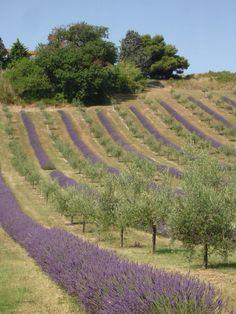Lavanda & olives trees