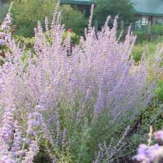Perovskia atriplicifolia 'Little Spire' Russian Sage from Midwest Groundcovers Dark Flowers, Types Of Flowers, Purple Flowers, Colorful Flowers, Rabbit Resistant Plants, Russian Sage, Leaf Texture, Drought Tolerant, Wildlife