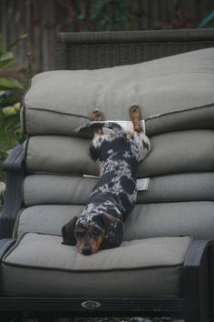 Just another Dachshund laying like a weirdo! <3