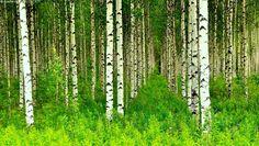 Koivumetsä - koivumetsä koivumetsää koivikko koivu koivut puut kesäkuu vihreä tuoksu rungot valkorunkoinen rivi rivit luonto  kesä