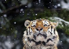 Google-kuvahaun tulos kohteessa http://i.telegraph.co.uk/multimedia/archive/01808/tiger-snow_1808771i.jpg
