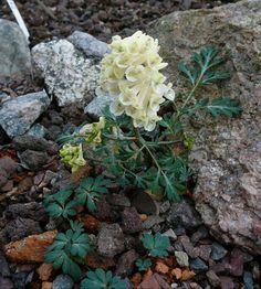 Corydalis magadania