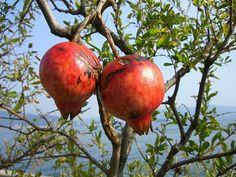 ザクロ(実) Blog Entry, Pomegranate, Pear, Apple, Fruit, Apple Fruit, Grenada, Pears, Bulb