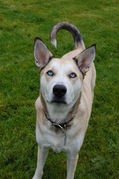 My boy, Cooper. Husky mix 4 years old. Big Dogs, Dogs And Puppies, Cute Dogs, Shepsky Puppy, Husky Mix, Beautiful Dogs, Border Collie, Puppy Love, Labrador Retriever