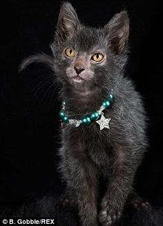 The Lykoi is a breed of cat, a natural mutation of the domestic shorthair. It was developed in Memphis, Tennessee and is said to resemble a werewolf. The Lykoi is a partially or almost entirely hairless cat that is genetically distinct from the Canadian S Cute Cats And Kittens, Cool Cats, Crazy Cat Lady, Crazy Cats, Lykoi Cat, Werewolf Cat, Exotic Cats, Types Of Cats, Feral Cats