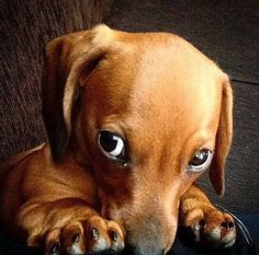 The Doxie look. Can't even handle how cute this is!!