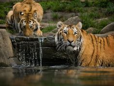 tigres dans la riviére